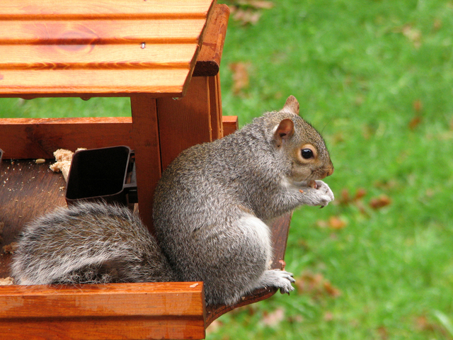 The Notorious Gray Squirrel.
