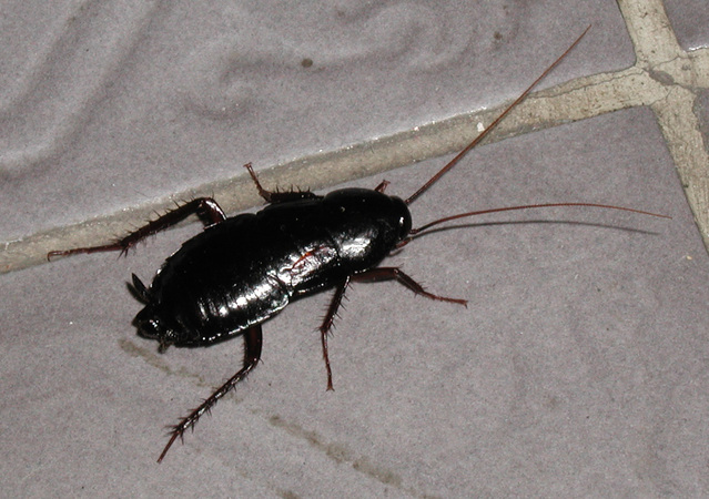 Have you heard of Oriental Cockroaches?