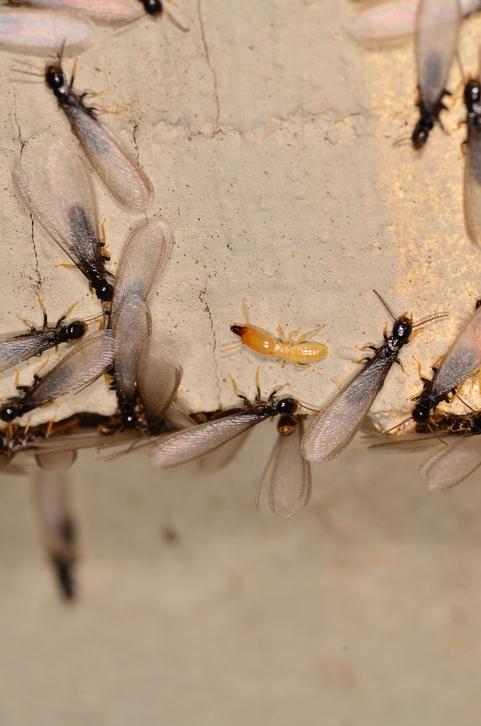 Termite Swarmers- When does the season start?