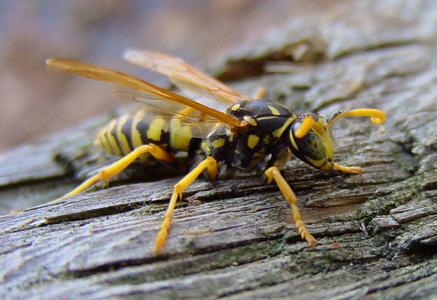 What to do about yellowjackets.