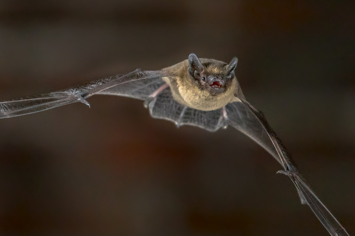 Bats Flying In And Around Your House.