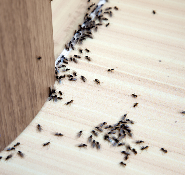 Black Ants On The Floor Near A Baseboard.