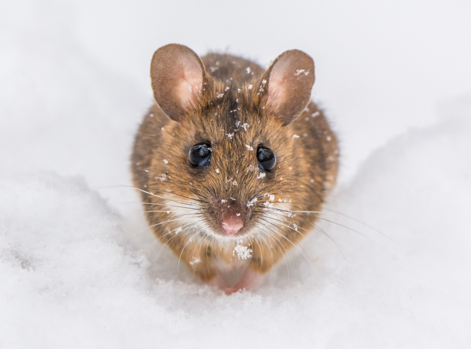 Tiny Mouse In The Snow.