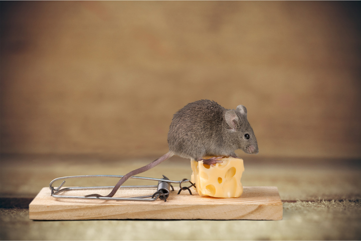 Mouse On A Trap With Cheese