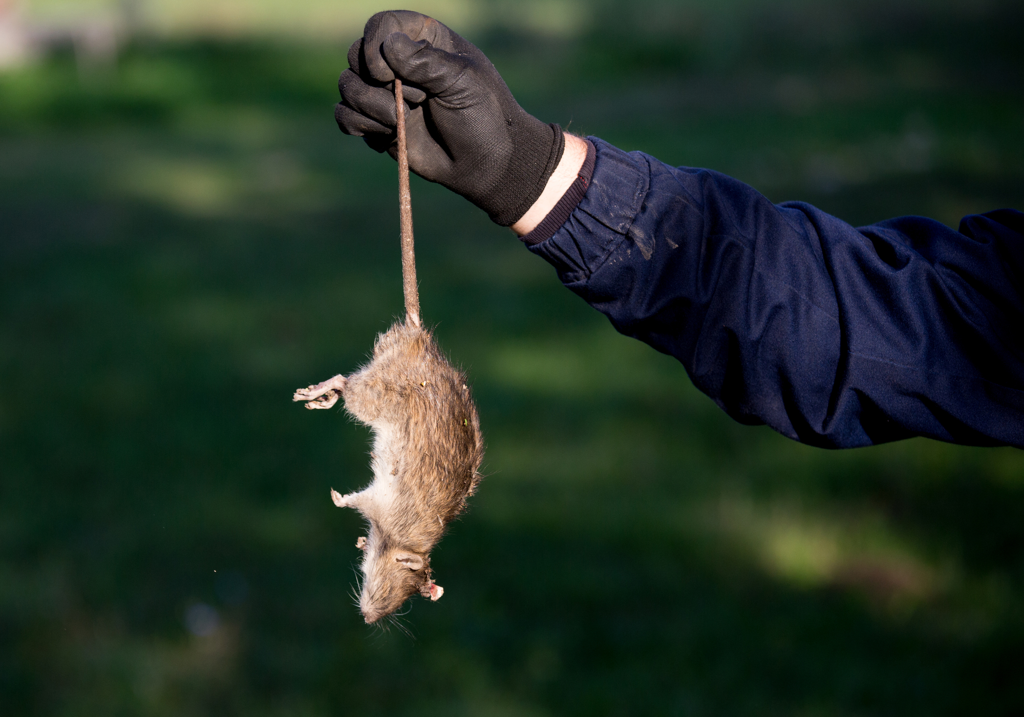 Man's Arm Holding A Dead Rat