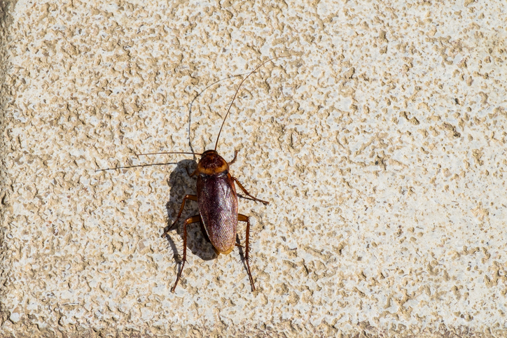 American Cockroach Sitting On A Stone Surface