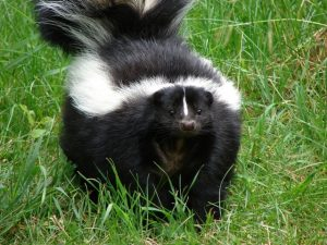 skunk on the grass