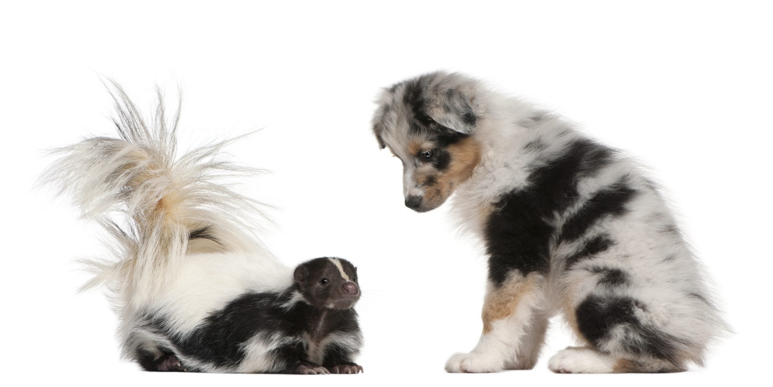 What do you know about skunks?