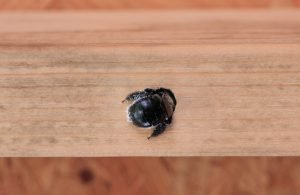Carpenter bee in a hole.