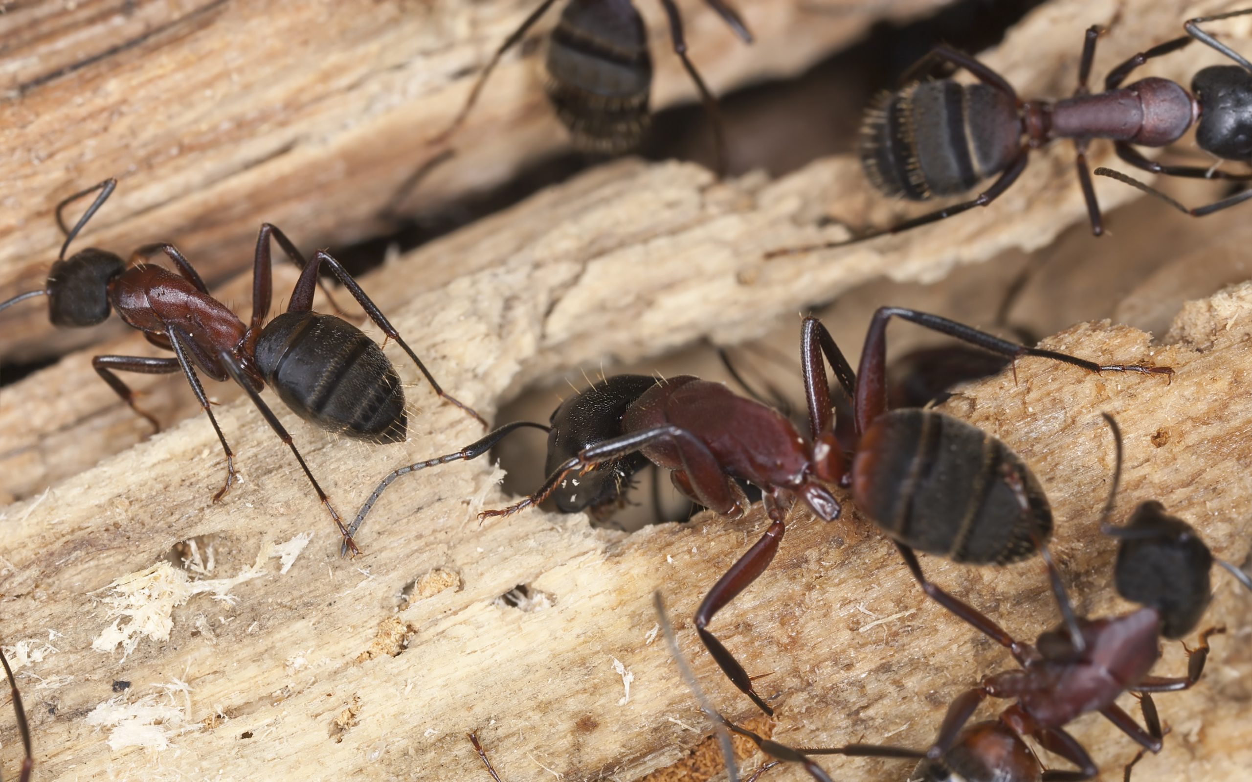 Carpenter Ants Cause Damage To Homes