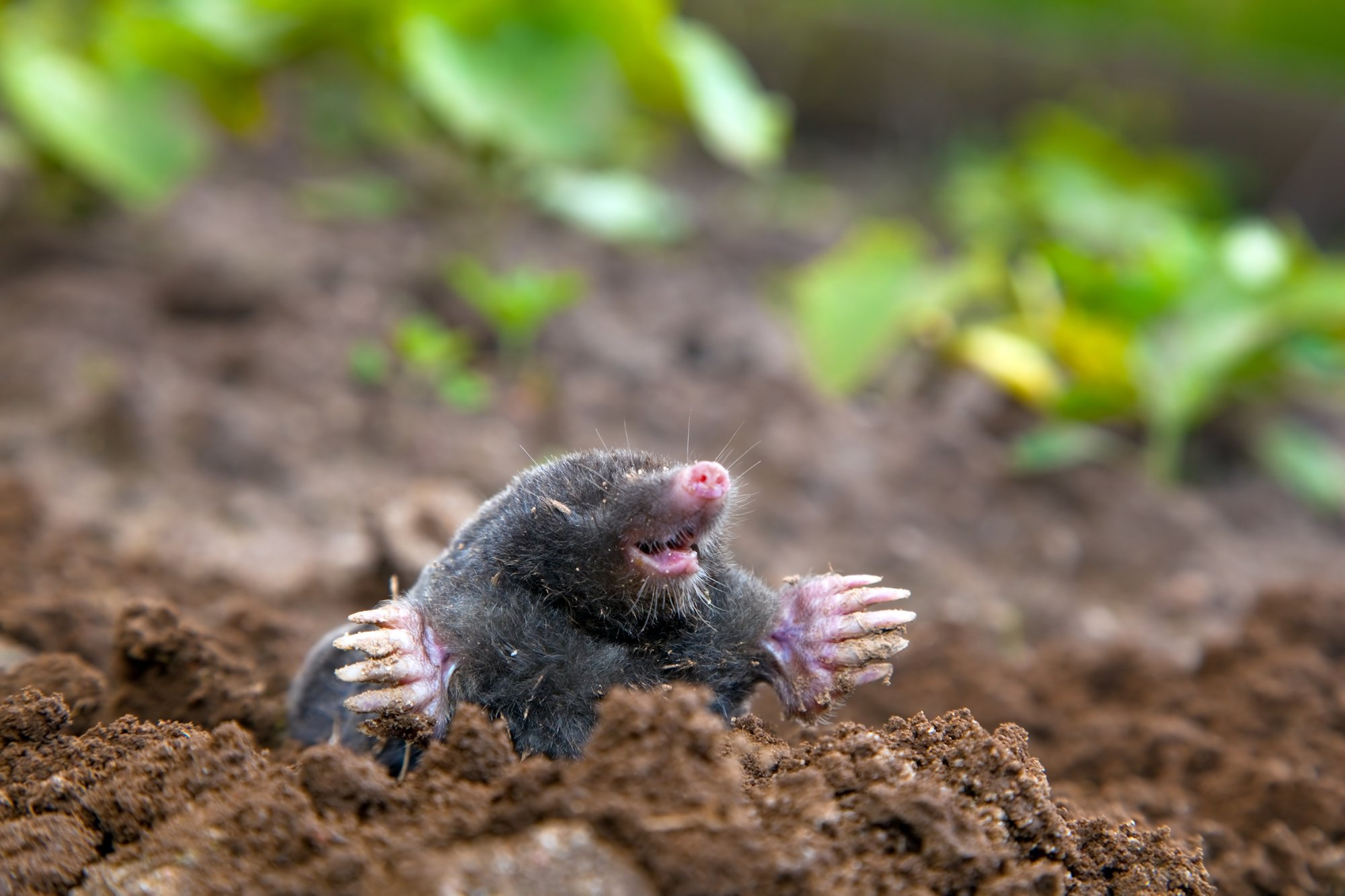 Moles Are Not Blind, And Other Fun Facts