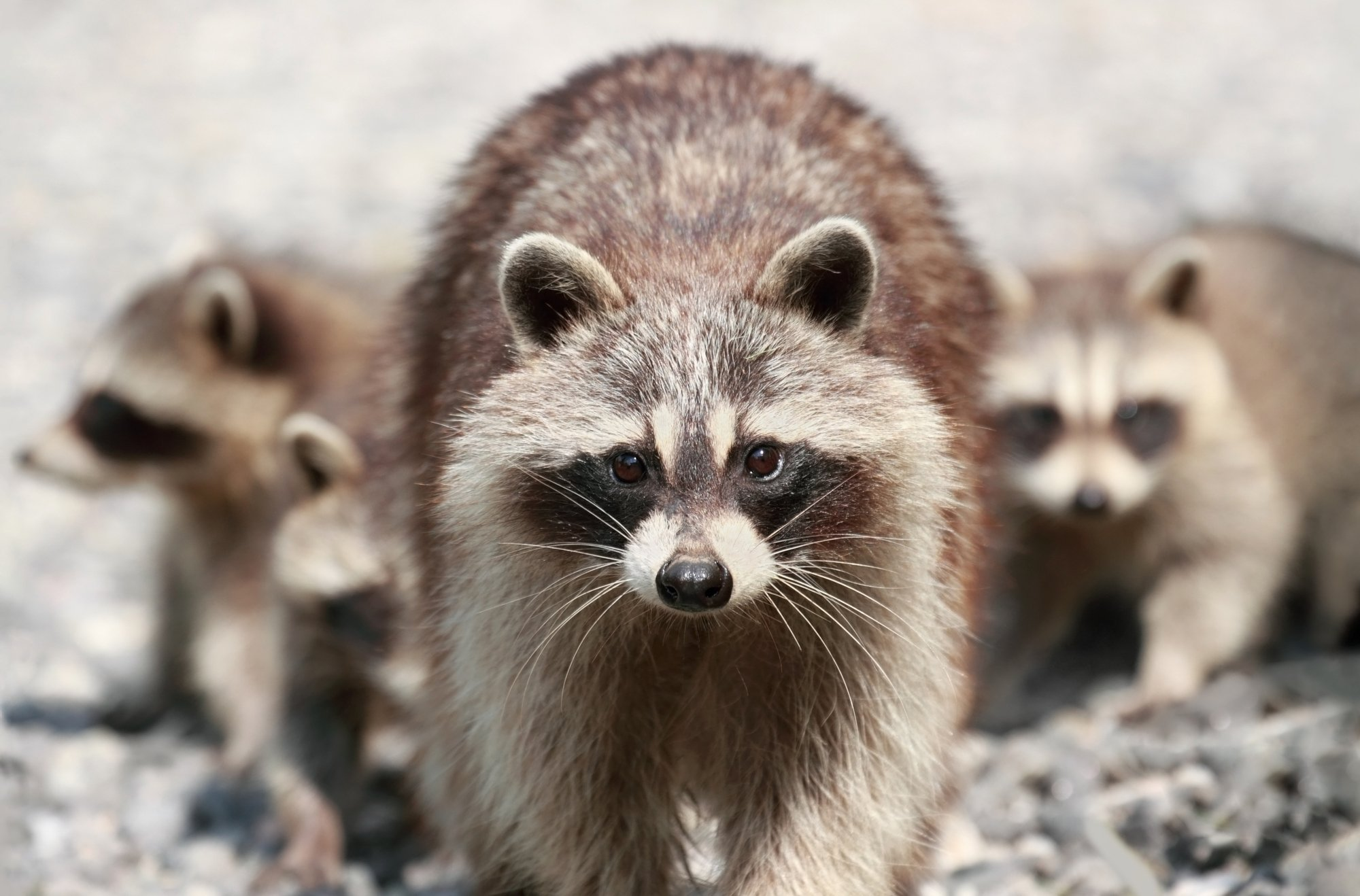 Racoon Removal In Schenectady, NY