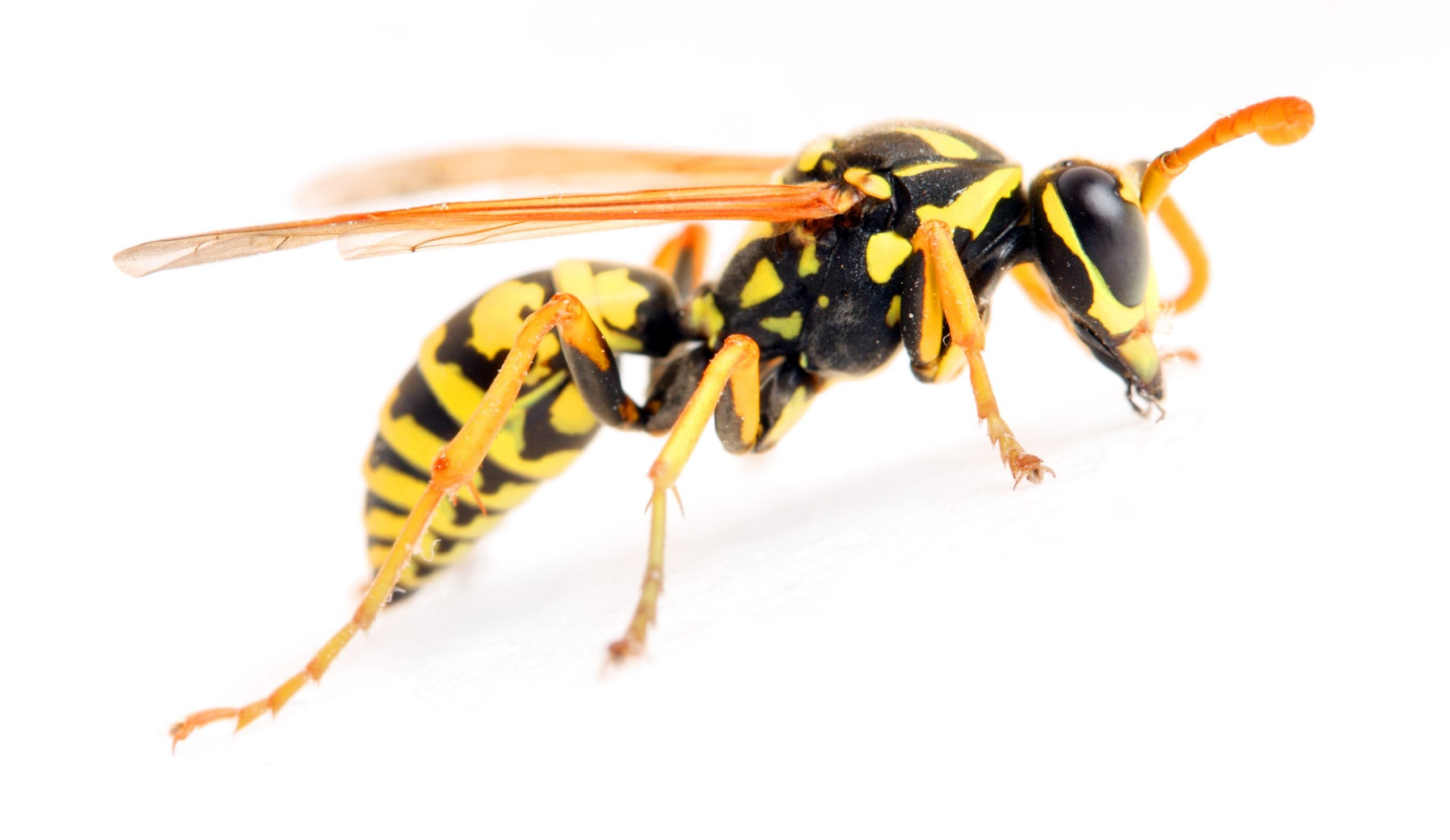 What do you know about yellow jackets?