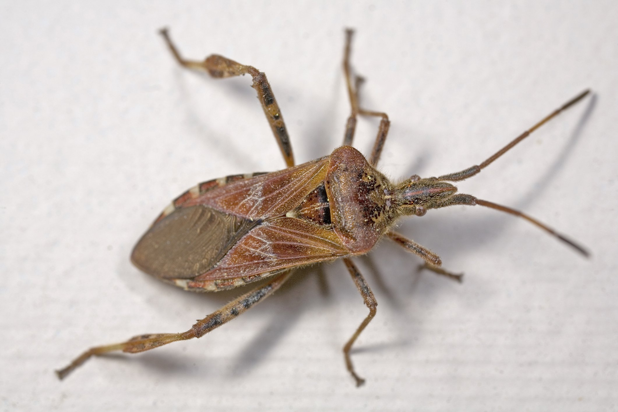 Western Conifer Seed Bug Extermination Near Me