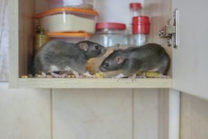 Mice and pest control near me