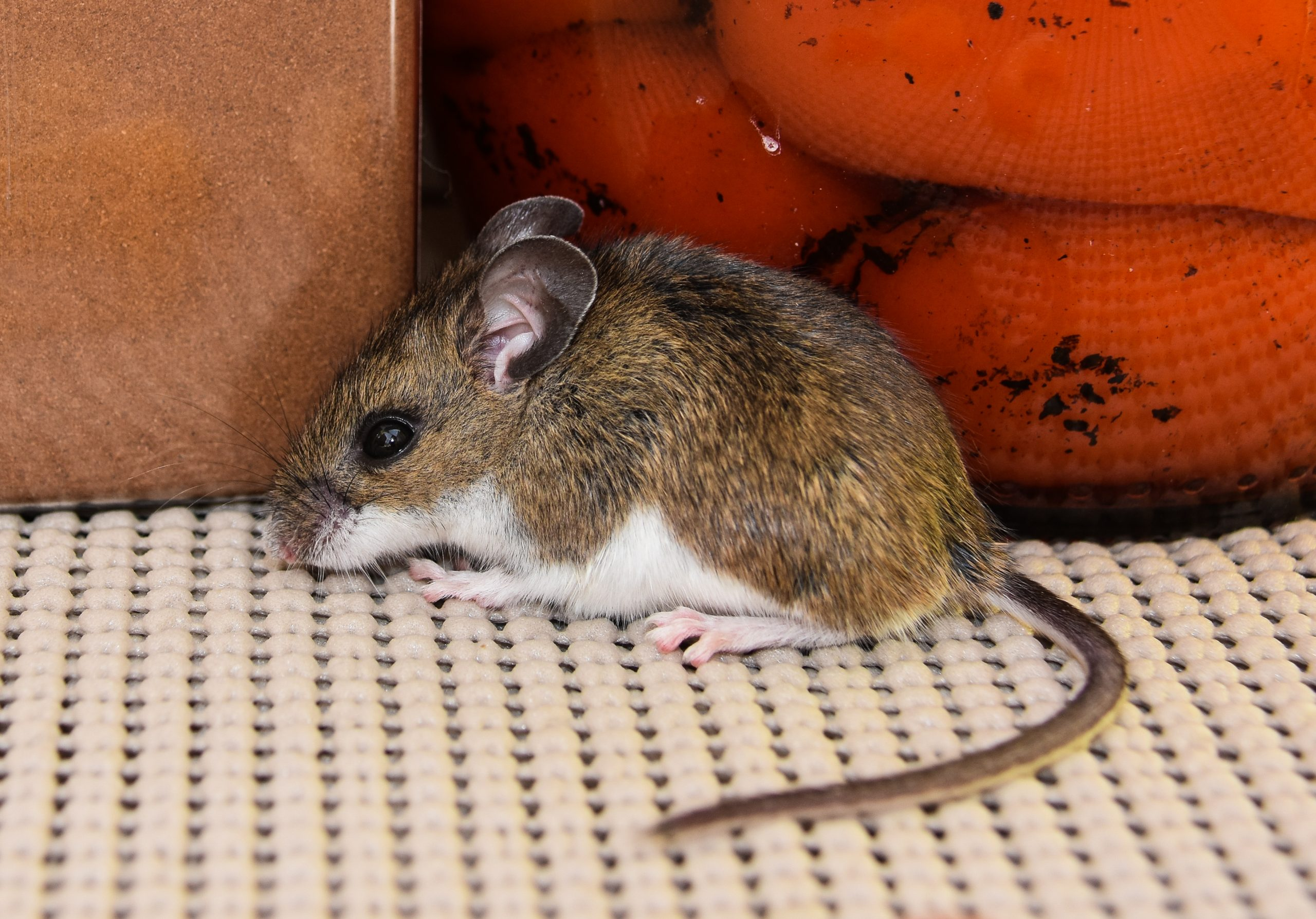 What is a house mouse?