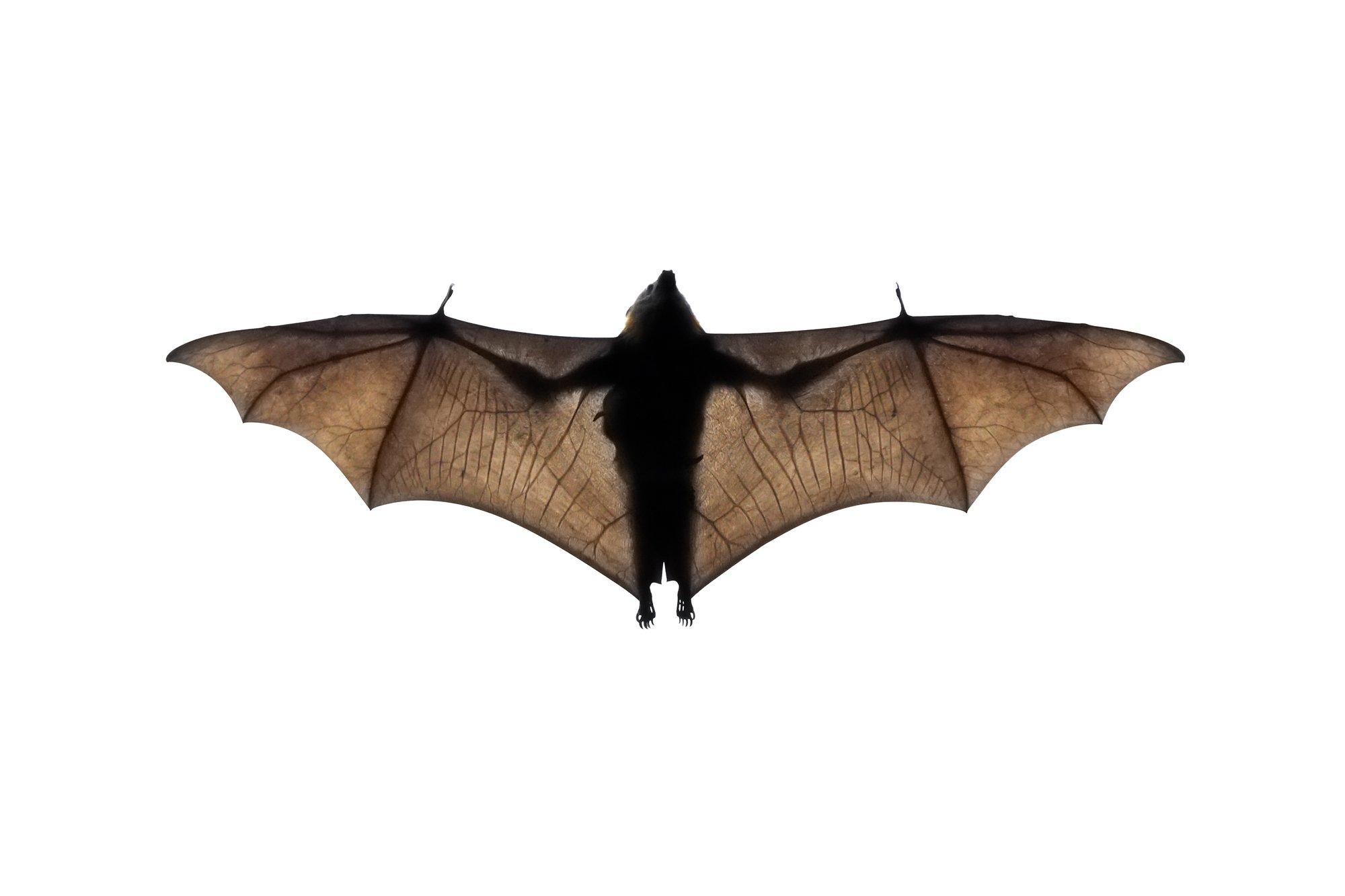 New York's Indiana Bats