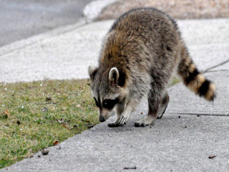 raccoons in attic damage
