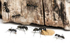 Carpenter ant exterminator near me