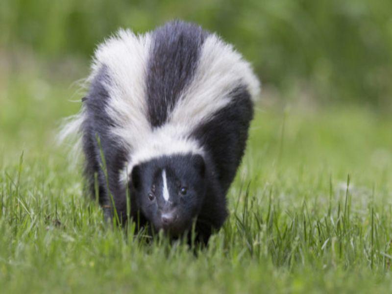 skunk exterminator near me