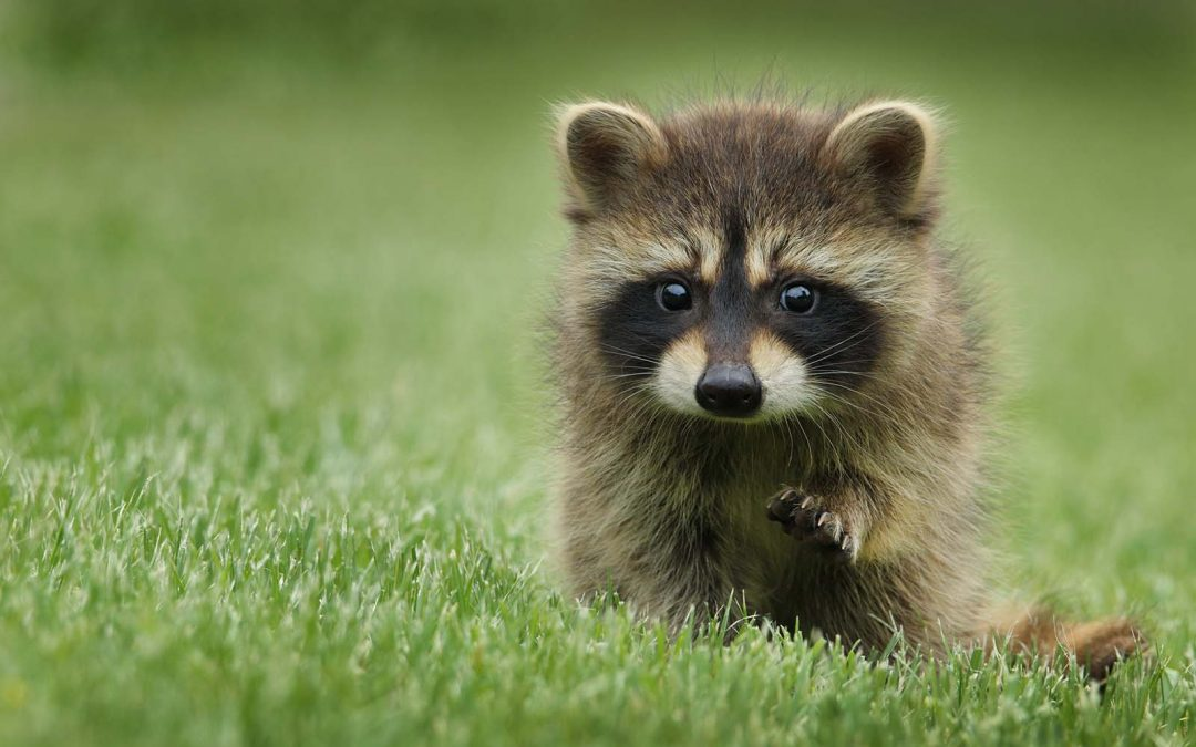 What should I do if I find a raccoon in my yard?