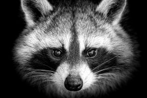 RACCOON AND WILDLIFE REMOVAL near me