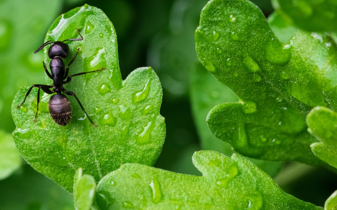 The effect of weather on ants and other pests