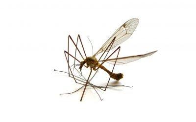 How dangerous are mosquito bites?