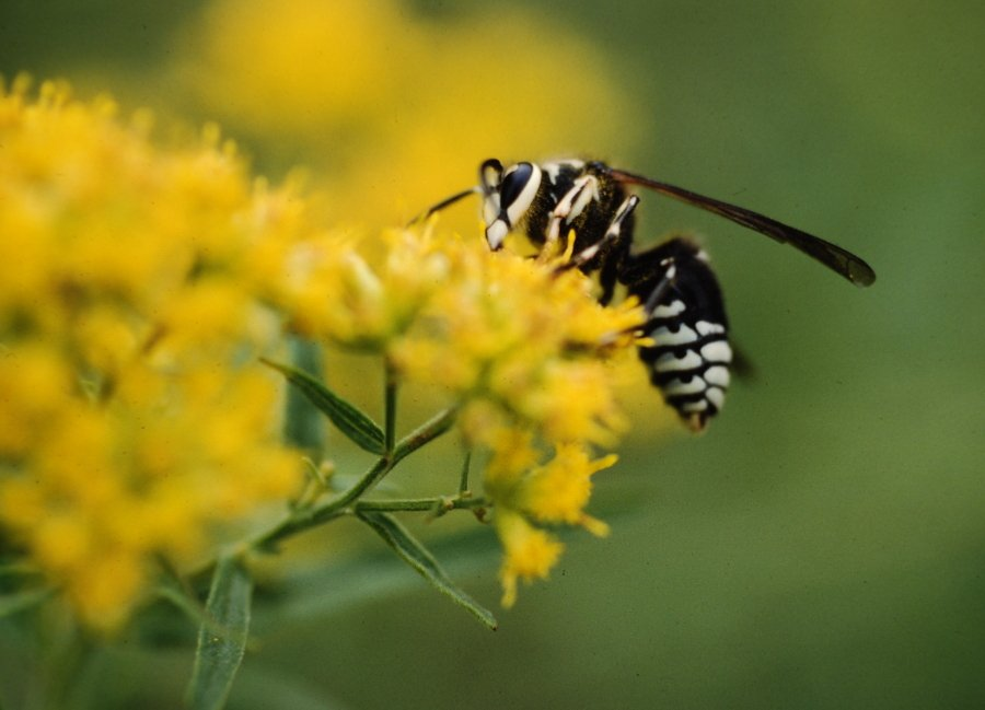 What you need to know about bald-faced hornets