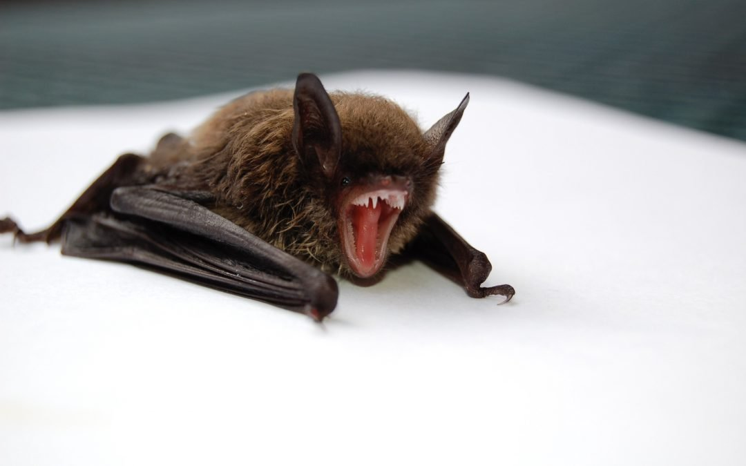 The Dangers of Bats in Your Home