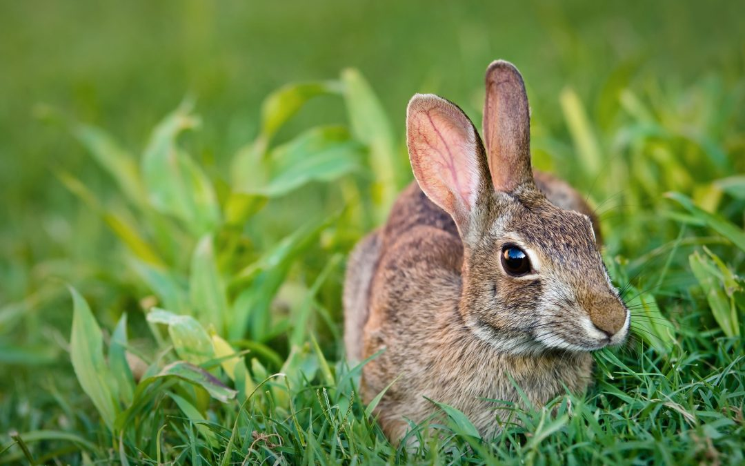 Can Wild Rabbits Damage Your Home?