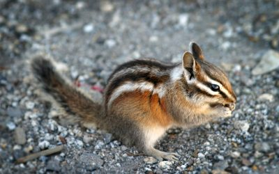 What You Need To Know About Chipmunks