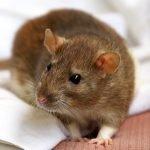 mice removal in Niskayuna NY