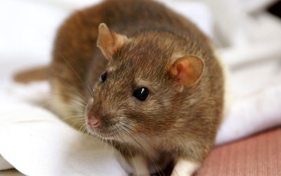 How much damage can little mice do?